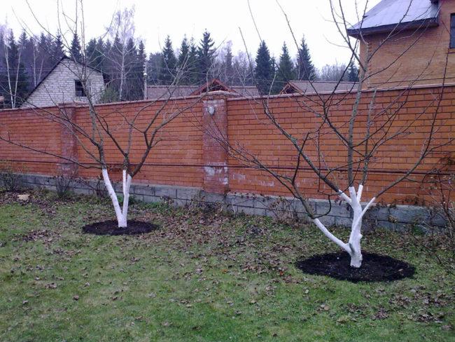 Побеленные стволы яблонь, растущих вдоль кирпичного забора