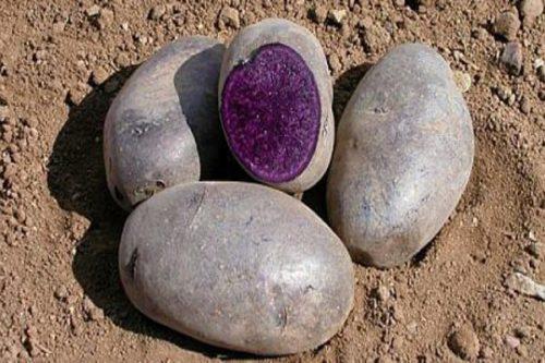 Клубни картофеля с фиолетовой мякотью сорта Китайский трюфель