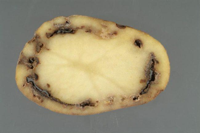 Срез клубня картошки с типичными признаками гнили кольцевой