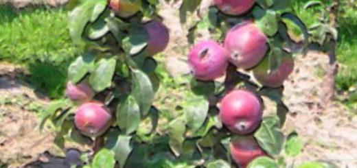 Плоды на стволе колоновидной яблони зреют