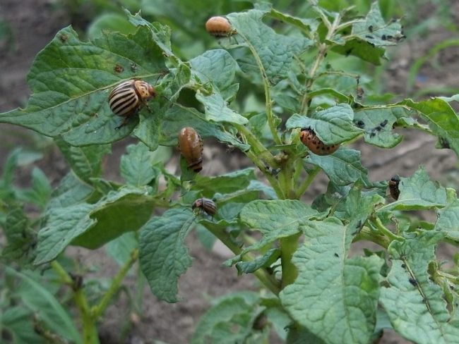 Колорадский жук и его личинки на листьях картофеля
