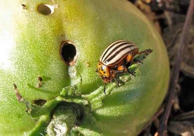 Полосатый колорадский жук на зеленом плоде томата