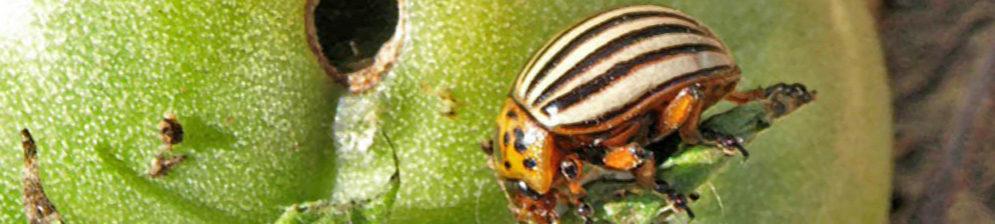 Колорадкий жук на помидорах стебель поеден