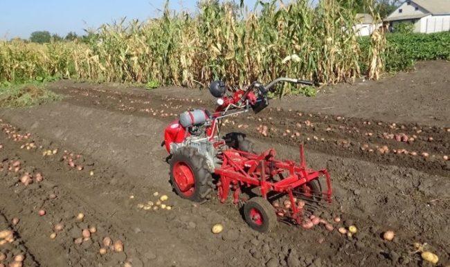 Уборка урожая картофеля с помощью мотоблока с дополнительным оборудованием