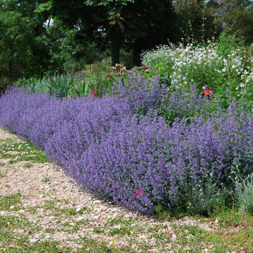 Обильное цветение садового котовника на приусадебном участке