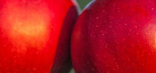 Спелые плоды яблони Краса Свердловска выращенные в Польше