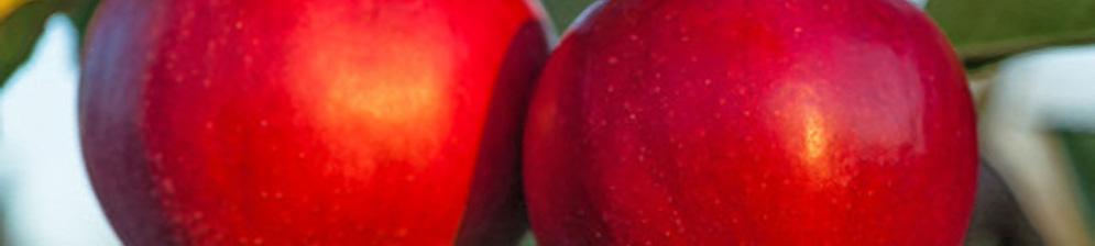 Яблоня Краса Свердловска мечта любого садовода