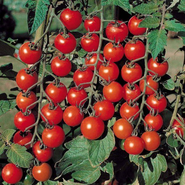 Три кисти среднего размера со спелыми плодами помидоры сорта Черри