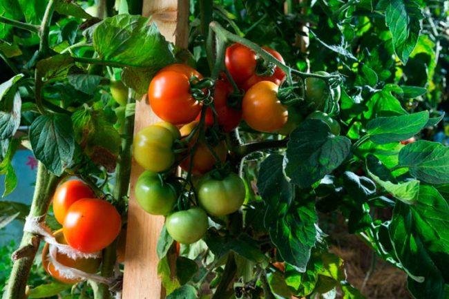 Кисти томатов с плодами различной степени спелости на кусте в открытом грунте