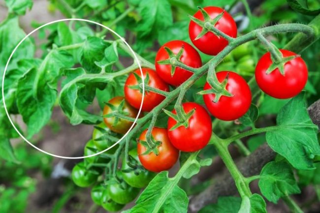 Кисть помидоров с красными плодами сорта Черри