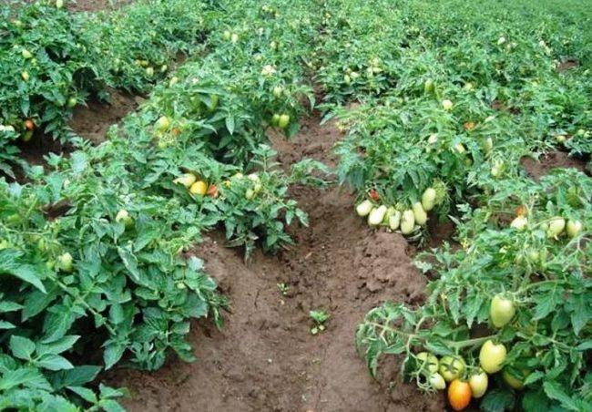 Кусты помидоры с зелеными листьями и созревающими плодами