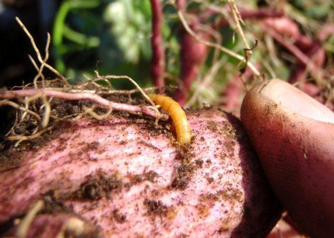 Розовый клубень картошки с желтой личинкой жука-щелкуна