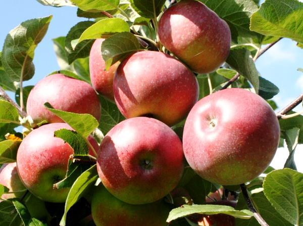 Спелые яблоки сорта Лобо на ветке взрослого дерева
