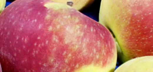 Сорт яблок Лобо спелые плоды собранные
