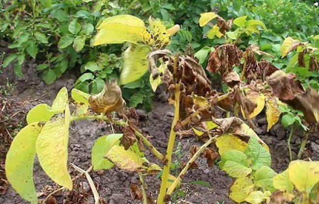 Пожелтение и высыхание ботвы картошки от макроспориоза