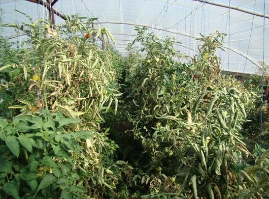Посадки помидоры в теплице после поражения заболеванием бактериального происхождения