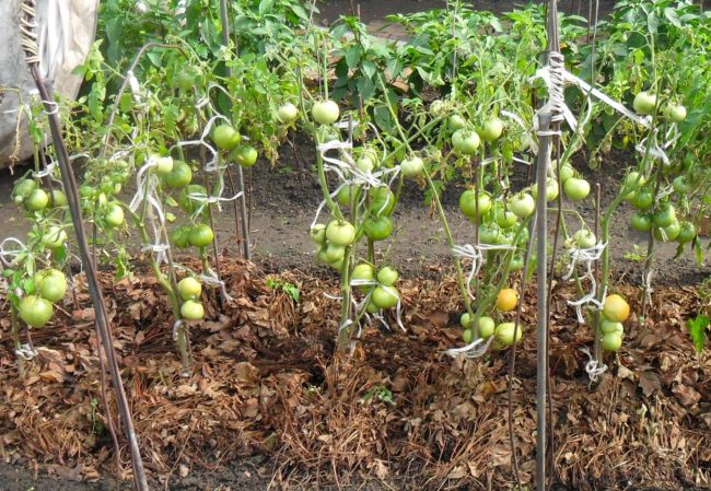 Мульчирование сухими листьями грядки с помидорами
