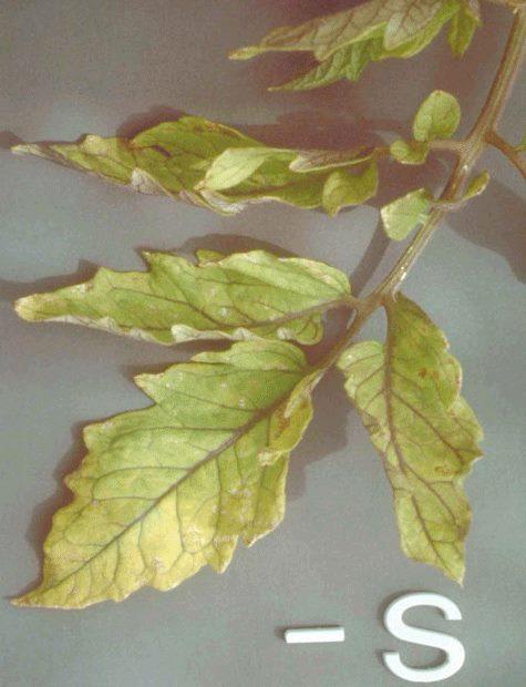 Ветка помидоры с признаками недостатка серы в питании растения