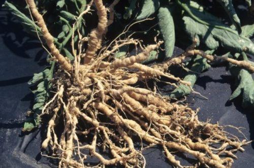 Корневищи выкопанного куста томата с признаками заражения нематодой