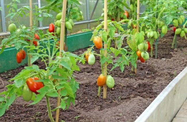 Небольшие кустики ранней помидоры в тепличных условиях