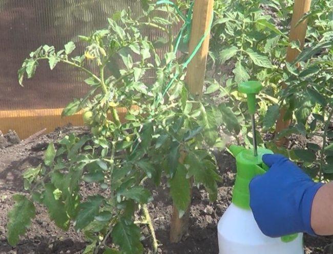 Опрыскивание кустов томатов в теплице из поликарбоната