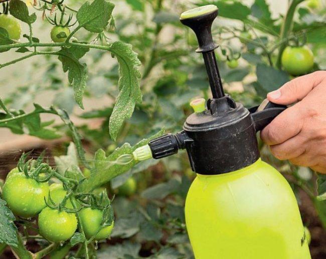 Обработка помидоры от бабочек и гусениц из садового распылителя