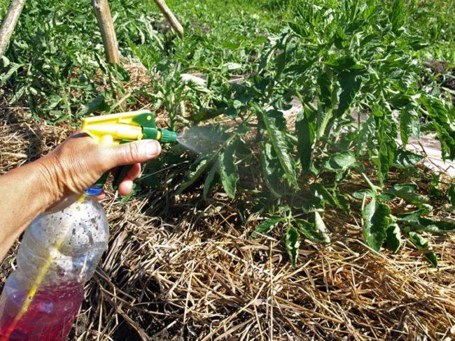 Опрыскивание кустов томатов водным раствором перманганата калия