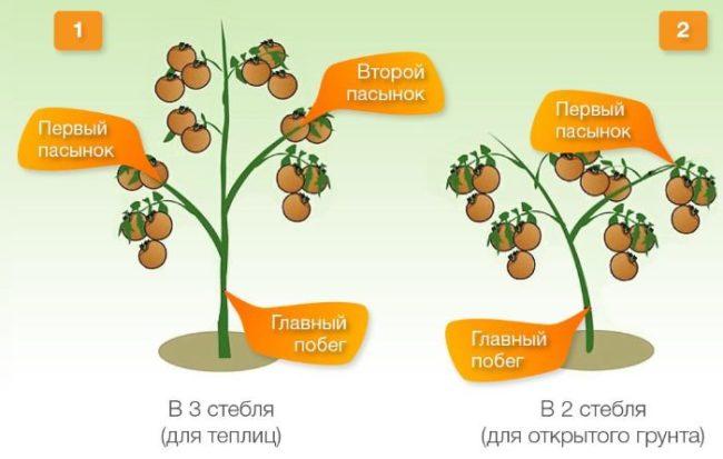 Схема обрезки низкорослых сортов помидоры для открытого грунта и теплицы