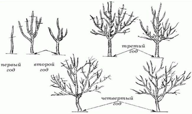 Схема обрезки яблони в течении первых четырех лет жизни деревца