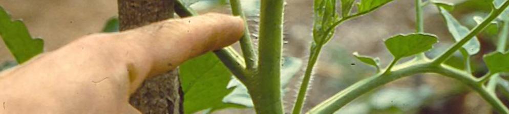 Томат: когда и как правильно обрывать листья при выращивании в теплице