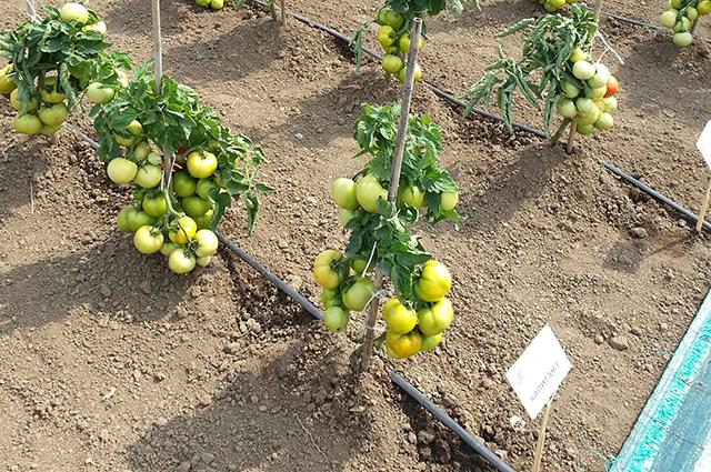 Окученные и подвязанные кустики томатов с зеленоватыми плодами