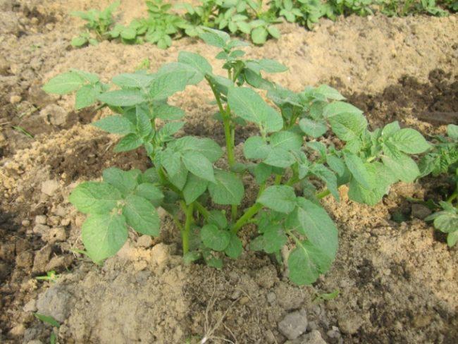 Куст молодой картошки высотой около 20 см после рыхления