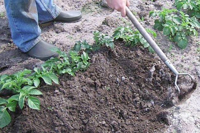 Окучивание кустиков картофеля мотыгой с деревянным черенком