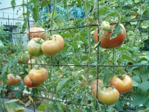 Подвязка длинных ветвей томатов к шпалере из проволоки