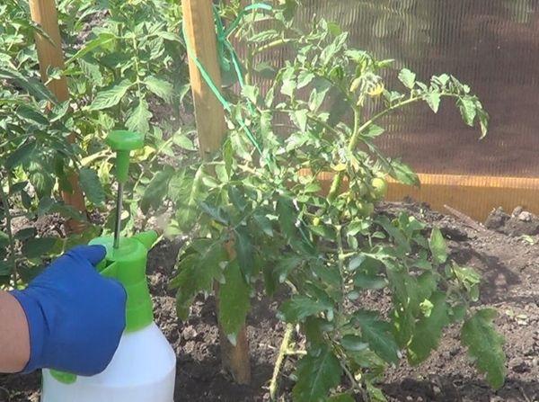 Профилактическое опрыскивание кустов помидоры в теплице от вредных насекомых