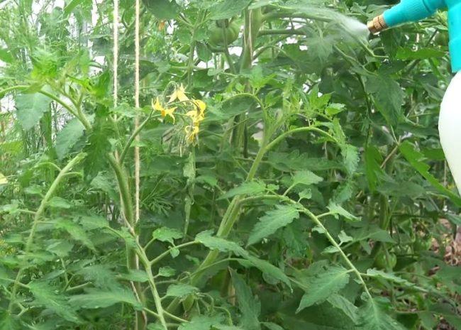 Обработка помидоры в период цветения водным раствором борной кислоты