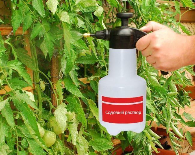 Орошение листьев томатов содовым раствором в период плодоношения