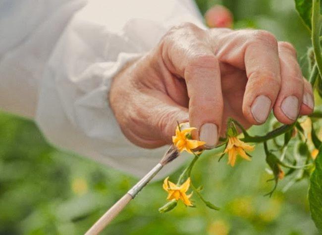 Опыление огородником цветка томата посредством мягкой кисточки