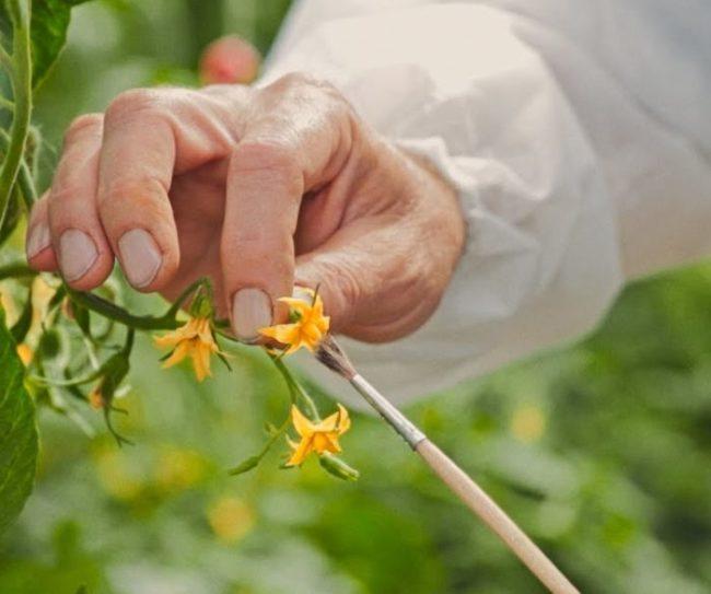 Ручное опыление цветка помидоры с помощью тонкой кисточки