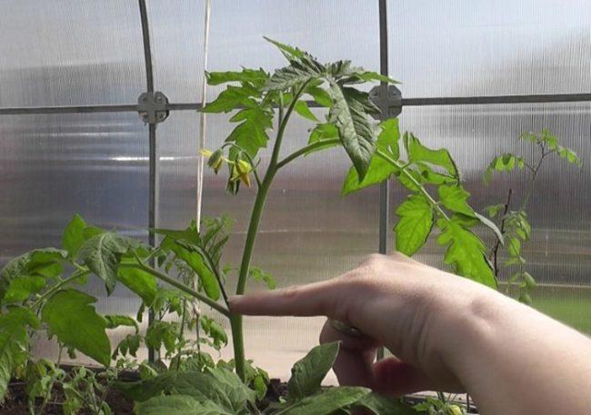 Пасынок тепличной помидоры, подлежащий удалению в период цветения