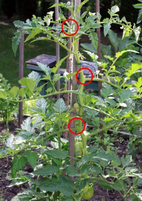 Стебель индетерминантного томата после удаления пасынков