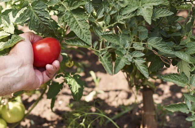 Снятие первого покрасневшего плода для ускорения созревания остальных помидоров