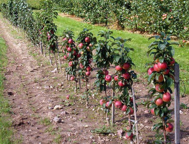 Рядная посадка яблонь колоновидного типа в фермерском хозяйстве