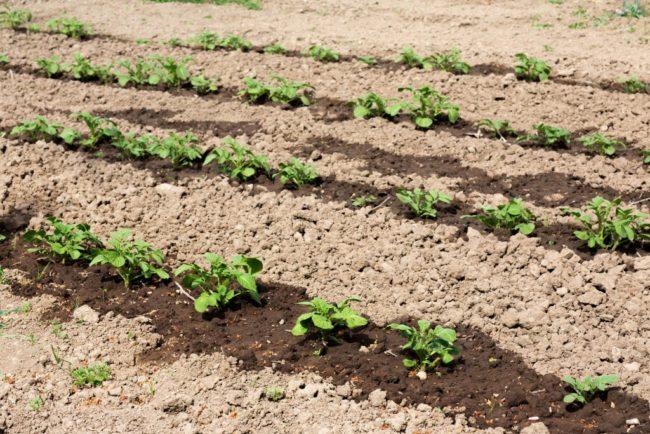 Ряды картошки после внесения жидкого коровяка на фермерском поле