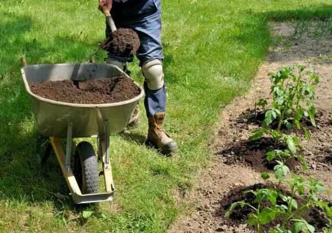 Подкормка кустиков картошки перегноем из садовой тачки