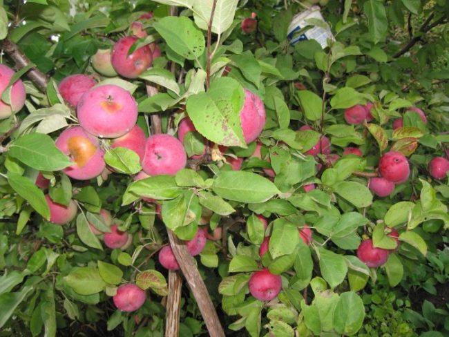 Подпорка веток яблони, усыпанных созревающими плодами бардового цвета