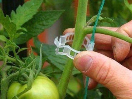 Подвязка стебля томата с помощью пластмассового зажима
