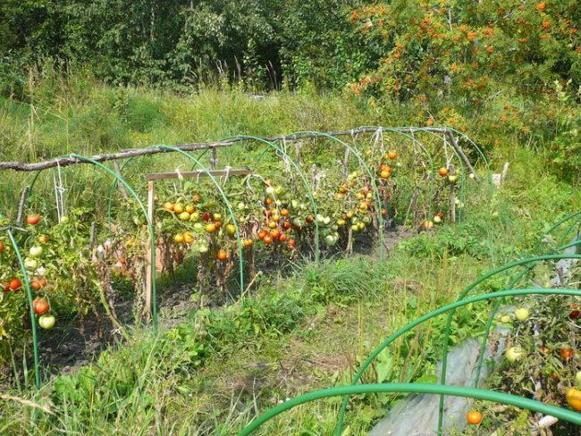 Подвязка детерминантных сортов помидоров к проволочным дугам