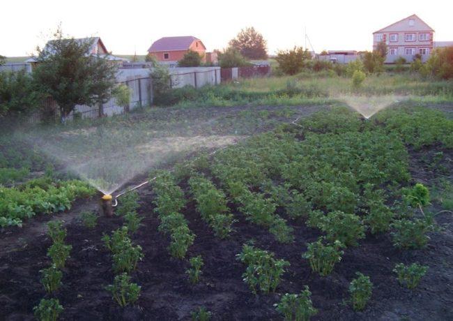 Полив молодой картошки из распылителей на садовом участке
