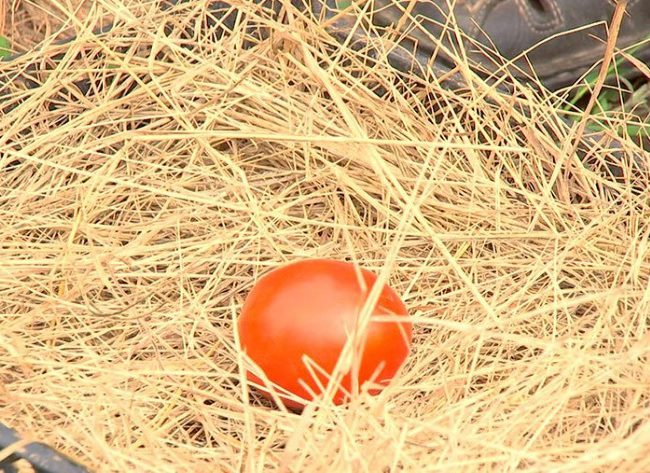 Красный помидор на хранении в ящике с соломой